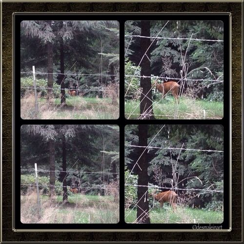 Deer enjoying the blackberry bushes in the family backyard. Countrylife