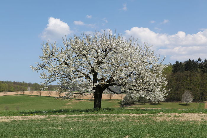 Apple Tree Beauty In Nature Blooming Cherry Blossoms Field Landscape Nature Nature Awakening Relaxing Moments Spring Tranquility Tree