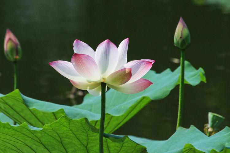 BEIJING北京CHINA中国BEAUTY Lotus Flower Lotus Leaf Beauty In Nature Blooming Close-up Day Flower Flower Head Focus On Foreground Fragility Freshness Green Color Growth Lake Leaf Lotus Lotus Pond Lotus Water Lily Nature No People Outdoors Petal Plant Water Lily