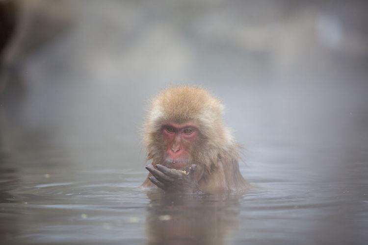 Monkey Swimming In Lake