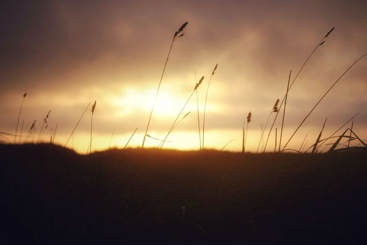 Close-up of silhouette plants on field against sky at sunset