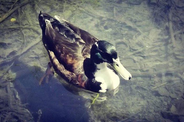Drake  Pond Cornwallpark Stream Duck Quack Pocket_farms