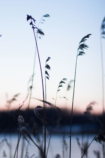 Sky Plant Growth Nature Beauty In Nature Focus On Foreground Close-up No People Selective Focus Tranquility Sunset Plant Stem Low Angle View Fragility Day Outdoors Grass Vulnerability  Clear Sky Tranquil Scene Stalk Timothy Grass Winter Lake Winter In Sweden Sharp Grass
