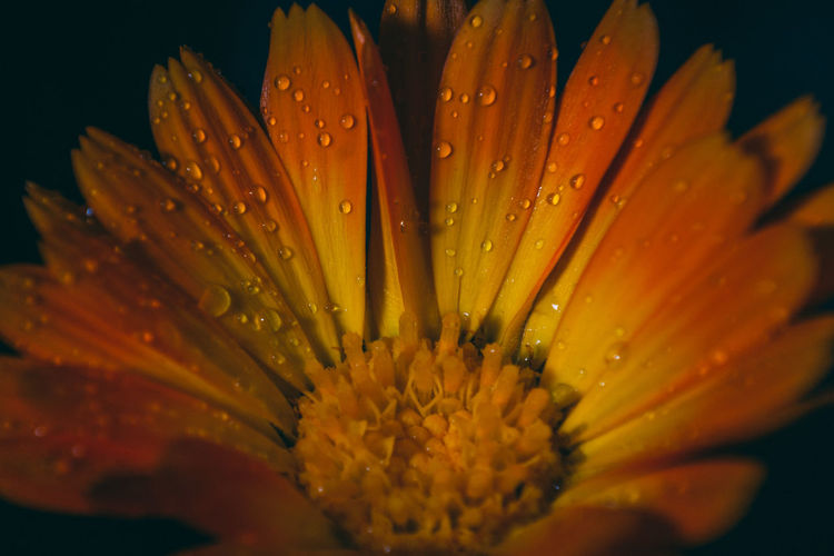 Close-up of wet flower on rainy day