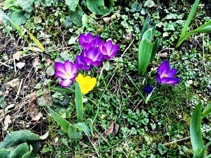 High angle view of purple crocus flowers on field