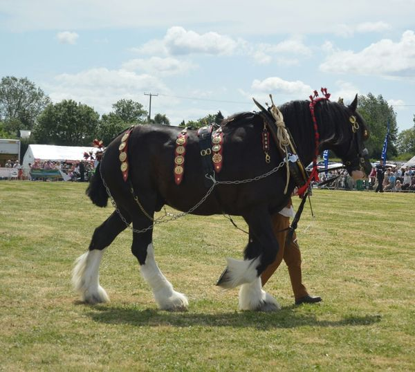Shire Horse With Man Walking On Grassy Field Against Sky