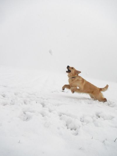 Activity Dog Dog Love Dogs In The Snow Dogs Of EyeEm Dogs Of Winter EyeEm Gallery EyeEm Nature Lover Golden Retriever Jumping ! Natural Beauty Nature Nature_collection Nature On Your Doorstep Nature Photography Nature_collection Outdoor Photography Outdoors Running Dog Snowscape Chaching Capturing Movement Photography In Motion Slovenia Scapes Need For Speed waiting game My Year My View Pet Portraits