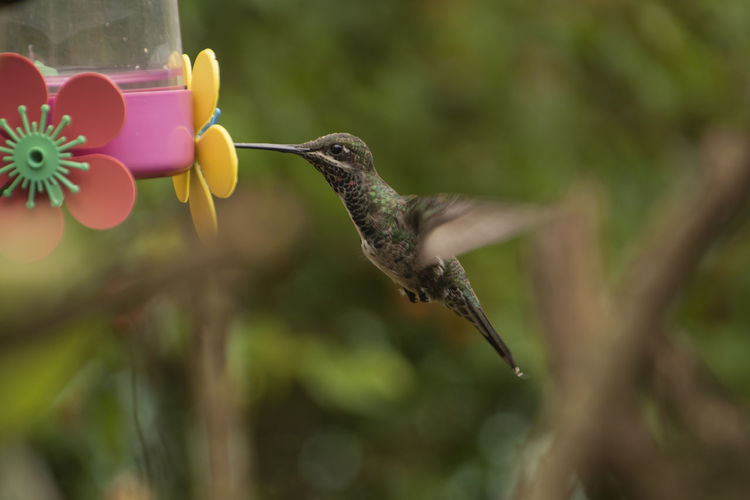 Vertebrate Bird Hummingbird Animal Wildlife Animal Themes Animals In The Wild Animal One Animal Flying Mid-air Plant Spread Wings No People Nature Focus On Foreground Motion Day Outdoors Selective Focus Close-up Beak Flapping