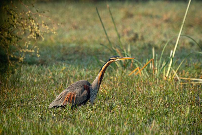 Purple heron or