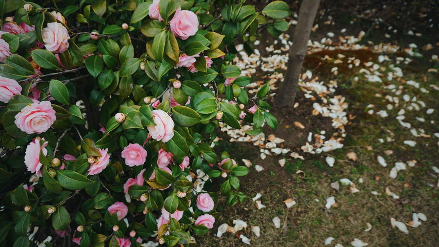Sony α5000 . Pink roses are fading away. Flower Fragility Freshness Growth Leaf Nature No People Plant
