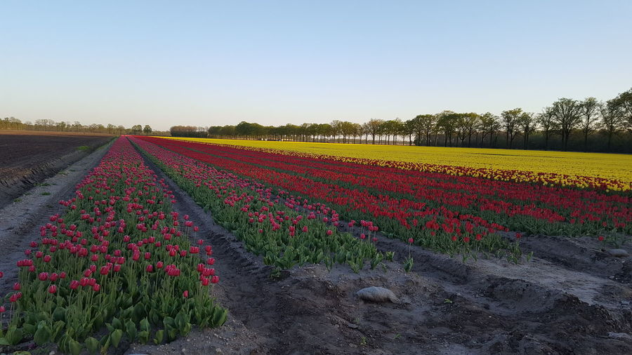 View of flowering plants on field against clear sky