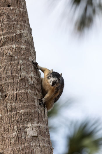 Alert big cypress fox squirrel Sciurus niger avicennia gathers nuts on a tree branch in summer in Naples, Florida One Animal Mammal Day No People Nature Vertebrate Outdoors Alert Sciurus Niger Avicennia Sciurus Niger Squirrel Big Cypress Fox Squirrel Fox Squirrel Attitude Feisty Varmit Animal Nature