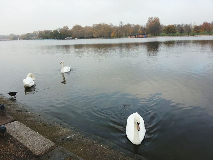 White swans in Hyde Park, London UK White Swan Lake Lake View Hyde Park London Nature In The City Bird Swan Lake