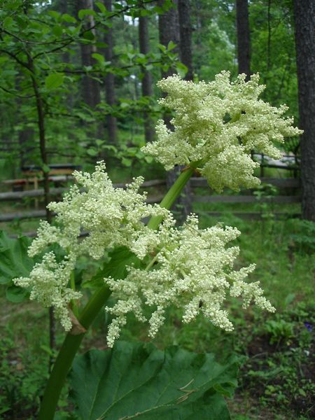 Flora Garden Rhubarb White Smell Adore Aroma Pretty Deceptively Simple Nature On Your Doorstep