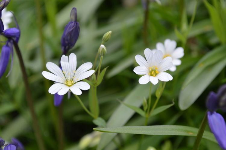 Beauty In Nature Blooming Close-up Day Flower Flower Head Fragility Freshness Growth Nature No People Outdoors Petal Plant Purple Stitchwort Woodland Flowers Woodlands