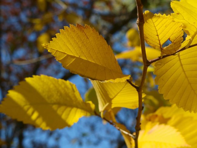 Autumn Colors Beauty In Nature Botany Branch Canadian Autumn Close-up Contrasting Colors Day Focus On Foreground Growth Leaves Lines And Shapes Nature Outdoors Tranquility Vibrant Colors Yellow