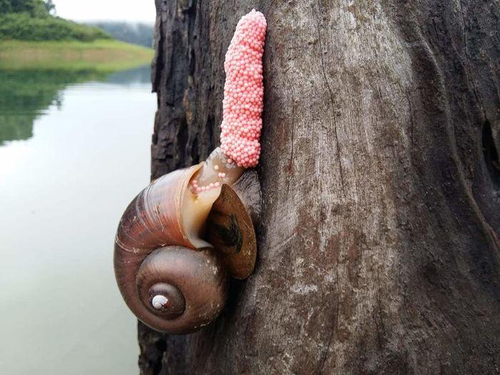 หอยเชอรี่