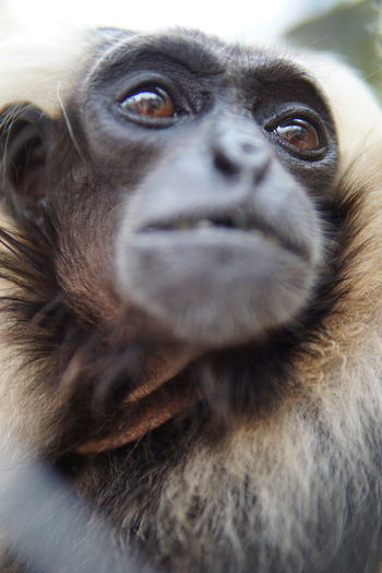 Wildlife Photography Animal Body Part Animal Wildlife Animals In The Wild Ape Care Close-up Day Focus On Foreground Gorgeous Gorgeous Animal Gorgeous Model Looking Looking Away Mammal No People One Animal Portrait Primate Vertebrate Wild Life Wildlife