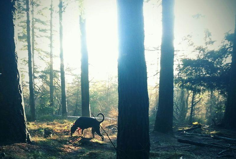 Dobermann Walking The Dogs Woods Doberman Pinscher Dogs A Dogs Life