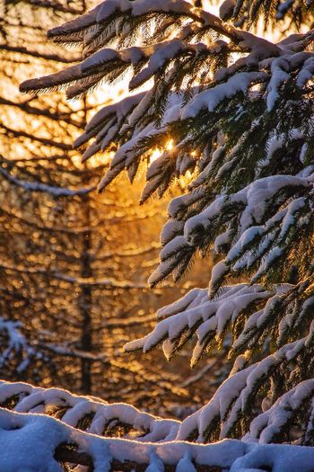 look how the air carries gold | Cold Temperature Winter Snow Nature Beauty In Nature Scenics Tree Orange Gold Golden Light Sunlight Sunlight Behind Tree Lit Up Golden Snow Forest Woods Winter Colors Wintertime Winter Wonderland Winter Trees Winter_collection Snowy Snowy Tree Baby Its Cold Outside