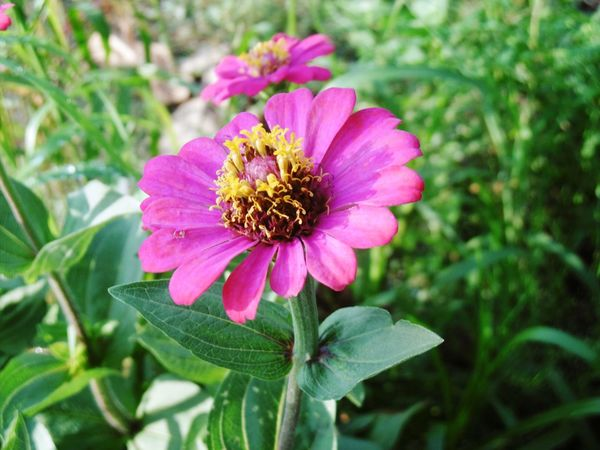 Thailand🇹🇭 ดอกบานชื่น Banana Flower Flower Pink Color Fragility Petal Nature Beauty In Nature Plant Freshness Flower Head No People Day Pollen Focus On Foreground Zinnia  Outdoors Growth Close-up Eastern Purple Coneflower