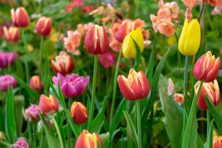 Tulips are flowers in a cold climate and flowers are beautiful in many colors. Flowering Plant Flower Plant Beauty In Nature Freshness Growth Fragility Vulnerability  Petal Close-up Flower Head Inflorescence Tulip Field Land Nature No People Green Color Plant Stem Day Outdoors Springtime Flowerbed Gardening Spring