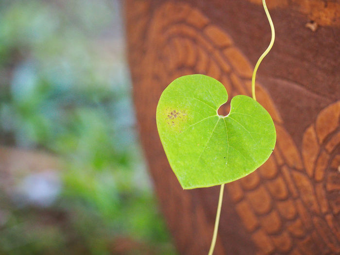 Green heart shape vine leaf of Aristolochia ringens. Aristolochiaceae Beautiful Aristolochia Beauty In Nature Close-up Day Focus On Foreground Fragility Freshness Green Color Growth Heart Heart Shape Leaf Nature No People Outdoors Plant