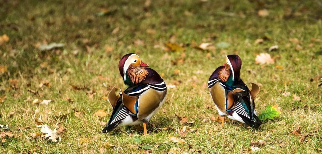Mandarin Ducks On Field