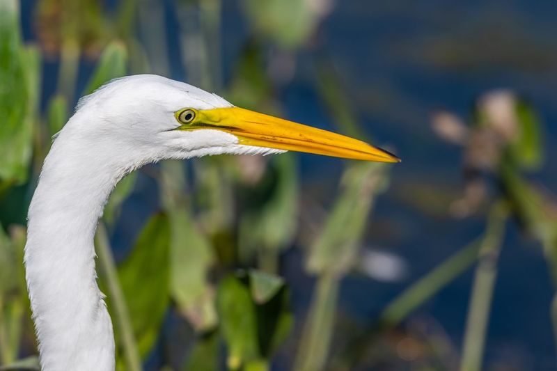 Close-up of great egret