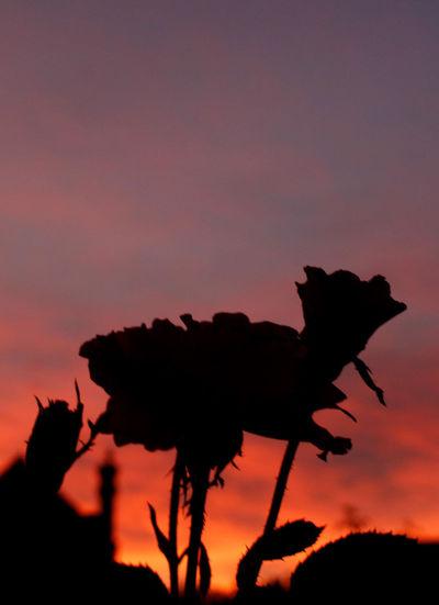 Silhouette of plants against orange sky