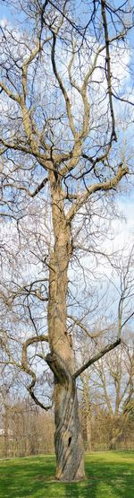 Old battered large tree in Garfield Park by Bean Creek in Indianapolis Indiana, Tall Panorama Ancient Earth Gnarly Biosphere Branch Conservation Day Field Grass Land Lawn Misshapen Nature No People Ourdoors Outdoors Park Plant Sky Tree Tree Trunk Trunk