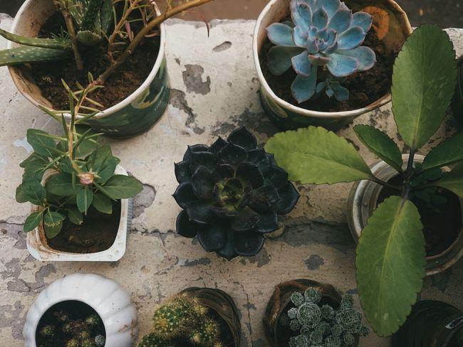 Potted Plant Plant Growth Cactus High Angle View Nature Day No People Alternative Medicine Indoors  Greenhouse Close-up Vietnam Art Is Everywhere EyeEm Nature Lover EyeEmNewHere EyeEm Best Shots Color Of Life! Green Color Leaf Flower EyeEm Growth Summer Views Plant