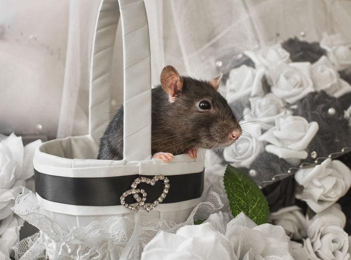 Wedding rat Animal Themes Black And White Domestic Animals Pet Rat Rodent Romantic Wedding