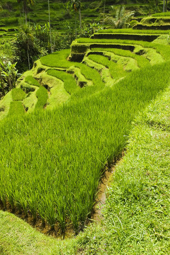 Scenic view of rice field, rice terrace at bali, indonesia.