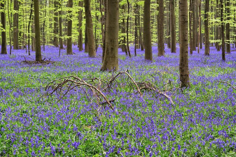 Growth Flower Beauty In Nature Nature Tree Purple Tree Trunk Plant Abundance No People Forest Green Color Day Outdoors Scenics Full Frame Fragility Freshness Flower Head Hiacynth Hallerbos