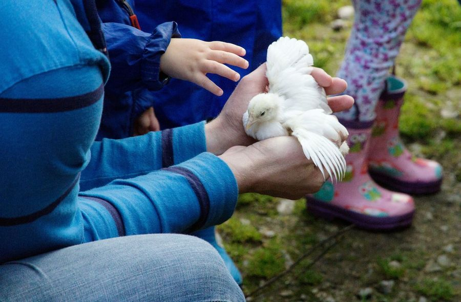 United Kingdom Holding Animals Domestic Animal Bird Human Body Part Farm Chick Holding Pets Focus On Foreground Outdoors Human Hand Animal People England Uk Real People Close-up Day Low Section Young Bird One Animal