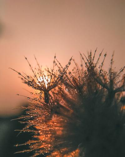 Close-up of dandelion against orange sky