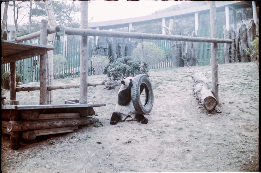 Analogue Photography Animal Themes Day Grass No People Panda Playing With The Animals Tire Tree