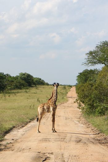 Giraffe standing on dirt road by grassy field at kruger national park