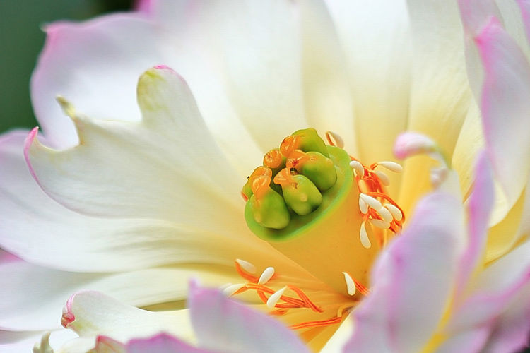 Lotus boutique Flower Boutique Lotus Seed Beauty In Nature Blooming Blossom Close-up Day Detail Extreme Close-up Flower Flower Head Fragility Freshness In Bloom Lotus Boutique Macro Nature Outdoors Petal Pink Color Plant Pollen Selective Focus Stamen