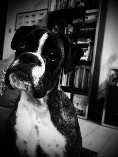 Juno 📸 Juno's World Deutscher Boxer Boxer I Love My Dog Blackandwhite Portrait Dog Boxer Dogs