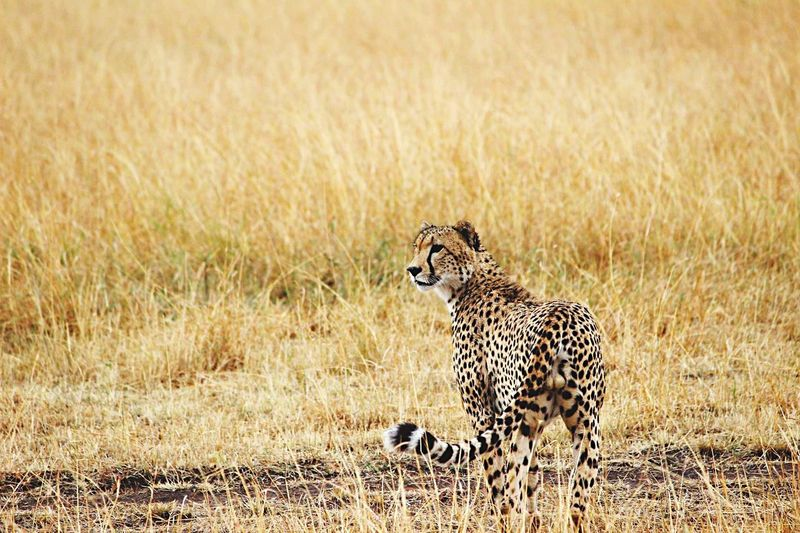 Cheetah Spotted