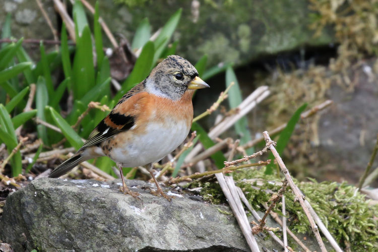 Brambling Animal Wildlife Animal Themes Animal Animals In The Wild One Animal Vertebrate Bird Perching Day Close-up No People Focus On Foreground Robin Nature Selective Focus Plant Outdoors Sparrow Songbird  Looking Small