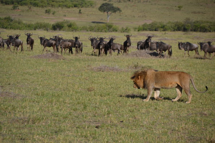Animal Animal Themes Animal Wildlife Animals In The Wild Day Full Length Grass Large Group Of Animals Mammal Nature No People Outdoors Safari Animals Wildebeest Kenya EyeEmNewHere Connected By Travel