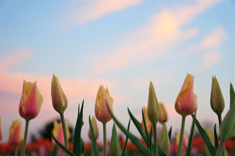 Tulip Garden @ Dusk EyeEm Best Shots EyeEm Nature Lover EyeEm Gallery Beauty In Nature Close-up Day Field Flower Flower Head Flowering Plant Focus On Foreground Fragility Freshness Growth Inflorescence Nature No People Outdoors Petal Plant Sky Sunset Tulip Vulnerability  My Best Photo