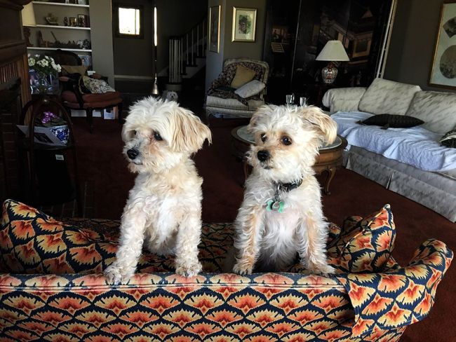 Two small dogs alert in a living room. Dog Pets Domestic Animals Animal Themes Alert Vigilance  Protect Watch Dogs Small Dog Cute Pets