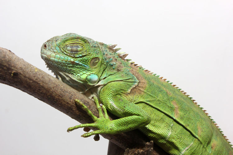 Close-up of lizard on branch against white background