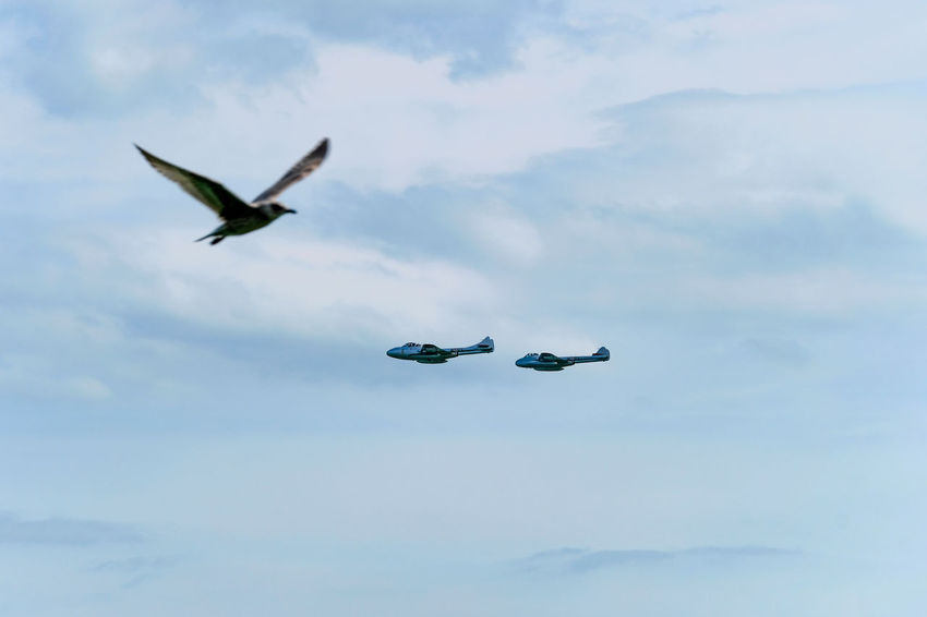 Aerial display of two De Havilland Vampires at Clacton Airshow 2017. Seabird photobombs two Vampires! Clacton Airshow 2017 Clacton-on-Sea Animal Themes Animal Wildlife Animals In The Wild Beauty In Nature Bird Cloud - Sky Day Flying Low Angle View Mid-air Nature No People Outdoors Seagull Sky Spread Wings Vamp