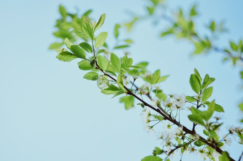 Tree Flower Branch Clear Sky Leaf Springtime Rural Scene Plant Part Summer Blossom