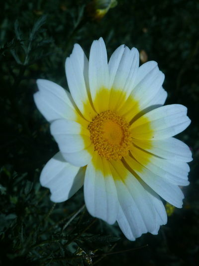 FLOWERS FLORAS FLEURS Yellow Flower Fleur Flora Floras Flower Flower Collection Flowers White Yellow And White Flowers